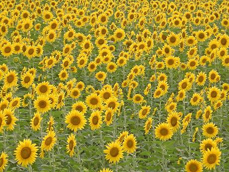 8月22日 西大室のヒマワリ畑 2009_a0001354_2128341.jpg