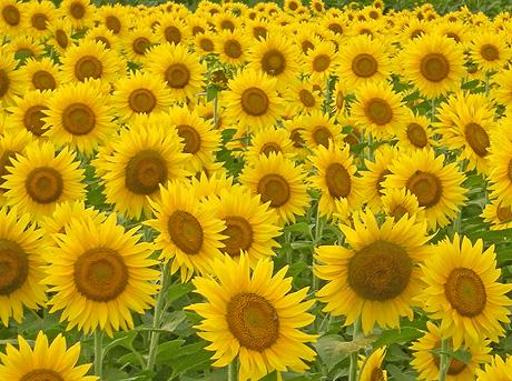 8月22日 西大室のヒマワリ畑 2009_a0001354_21285521.jpg