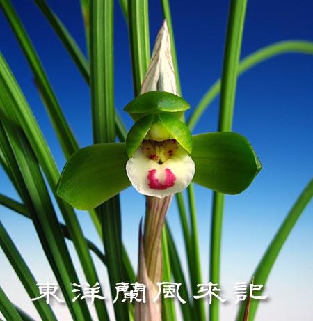中国奥地蘭「豆弁蘭」                   No.692_d0103457_12275.jpg