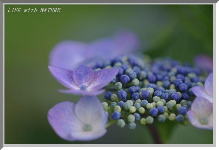 精進湖畔の紫陽花_b0093088_636660.jpg