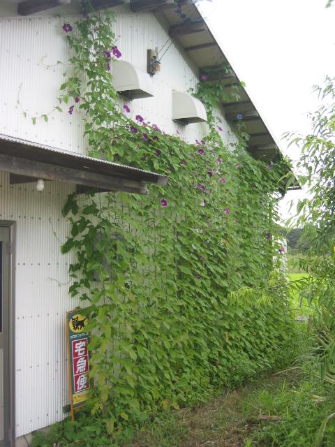 「グリーンカーテン」_a0120513_1852791.jpg
