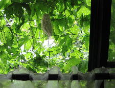 緑のカーテン_c0055363_1229699.jpg