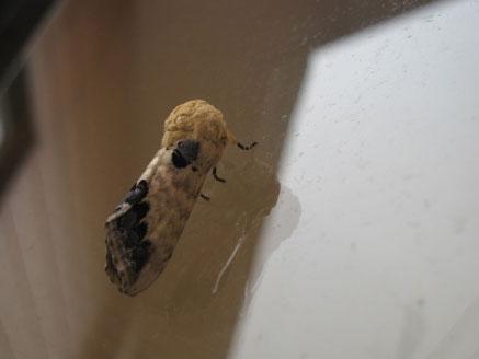 マックに、普段見かけない蛾が‥_b0025008_2048299.jpg