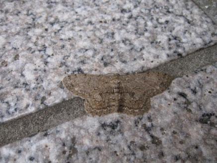 マックに、普段見かけない蛾が‥_b0025008_2048356.jpg