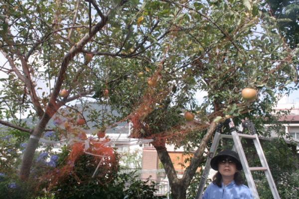 リンゴ収穫・・・・・・・・白髭_d0138130_8584255.jpg