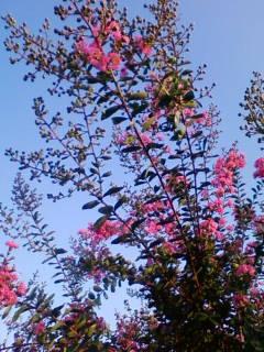 紫仙庵の草花 23「サルスベリ」_f0138653_9495357.jpg