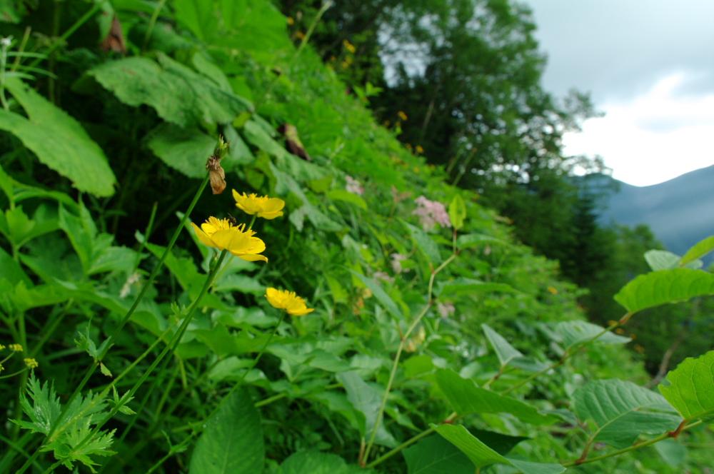 北岳の花(2)_d0123171_10532043.jpg