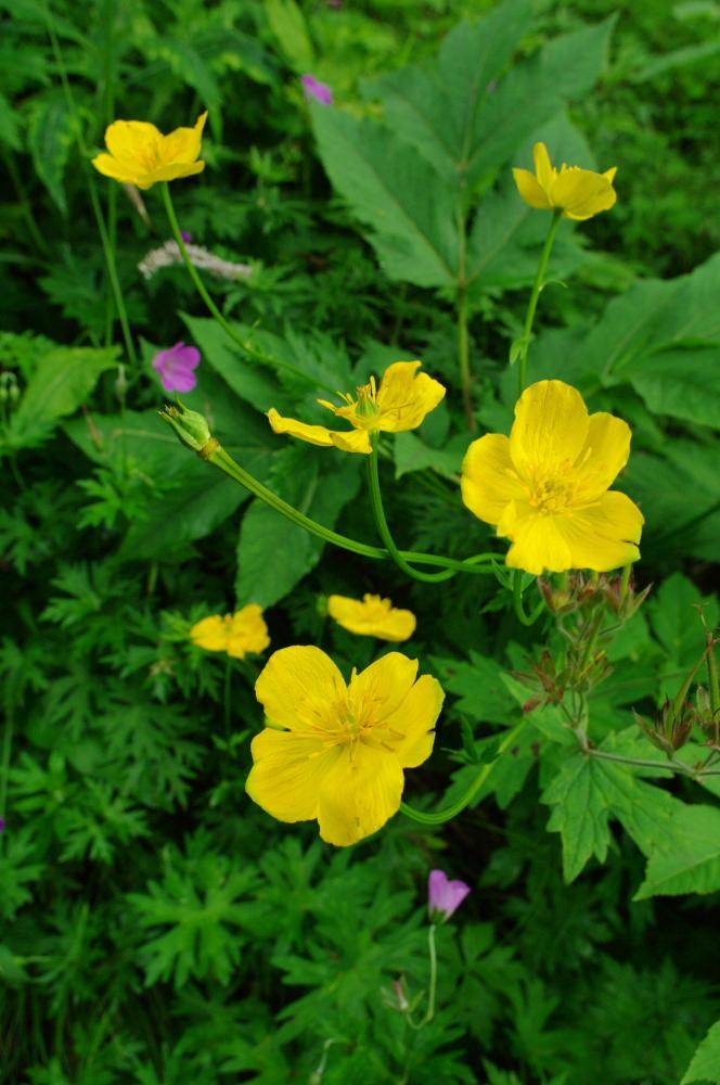 北岳の花(2)_d0123171_1053389.jpg