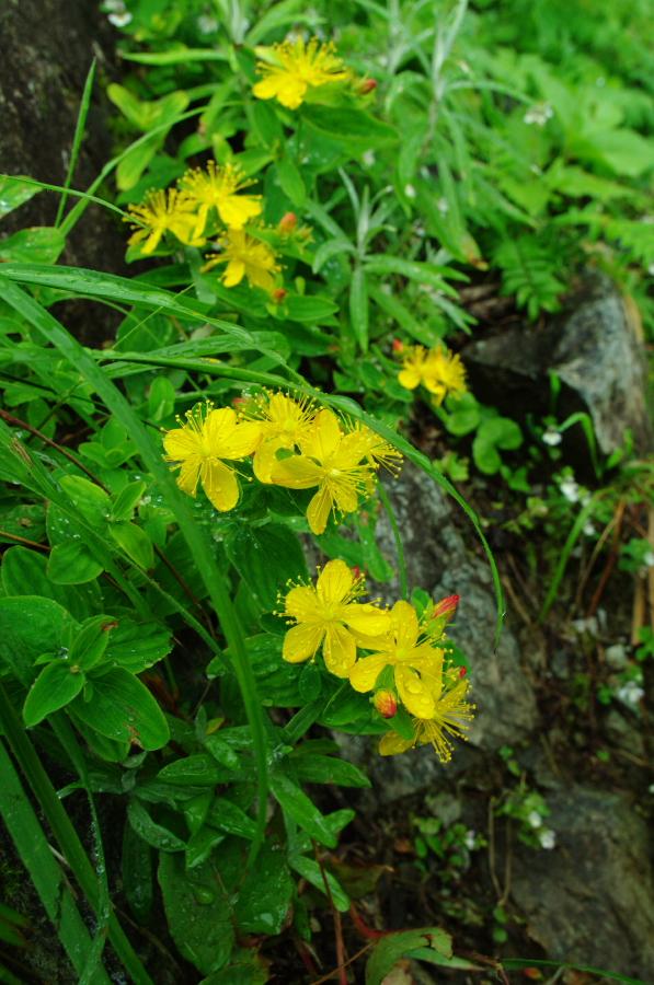 北岳の花(2)_d0123171_11112089.jpg