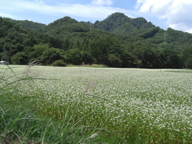 そば畑、白い花が満開です。_f0052181_1956461.jpg