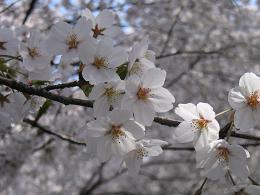 今年の桜.JPG
