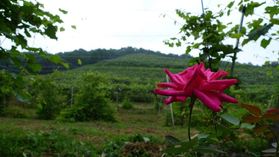 今年のブドウの出来具合は~_c0124795_0123729.jpg