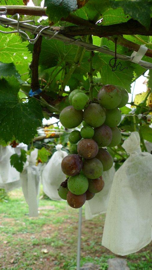 今年のブドウの出来具合は~_c0124795_0125166.jpg