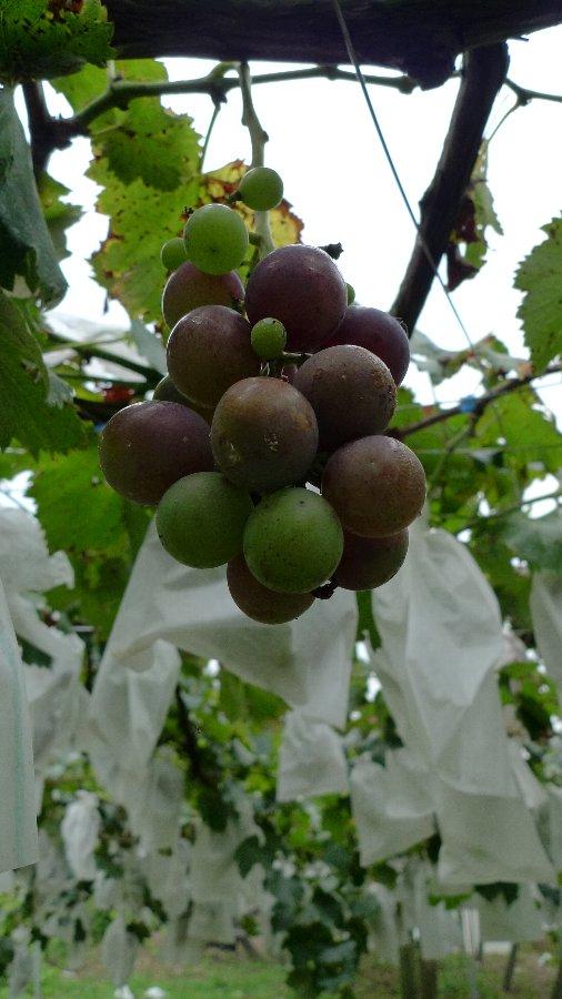 今年のブドウの出来具合は~_c0124795_0131832.jpg