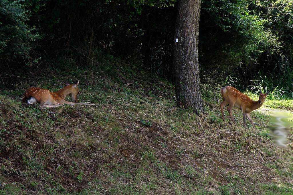 草陰に飛び込みました/鹿の親子_b0024798_544084.jpg