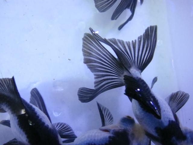 熱帯魚・水草・金魚_f0189122_1383198.jpg