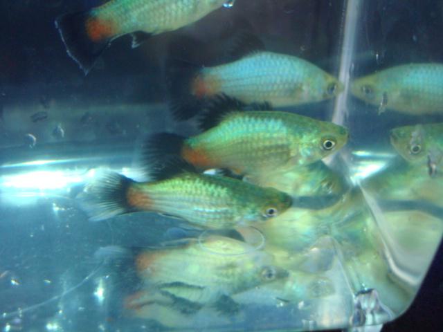 熱帯魚・水草・金魚_f0189122_1431141.jpg