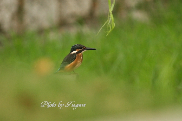 Kingfisher in the green_f0037633_7513368.jpg