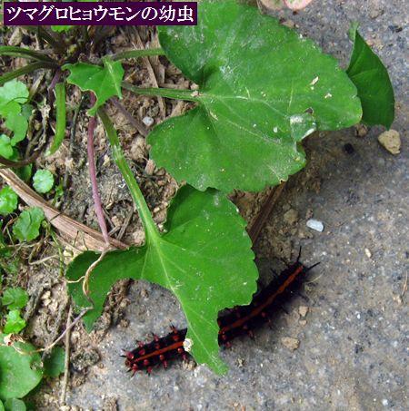 日本春蘭「君子」(くんし)                No.697_d0103457_2364981.jpg