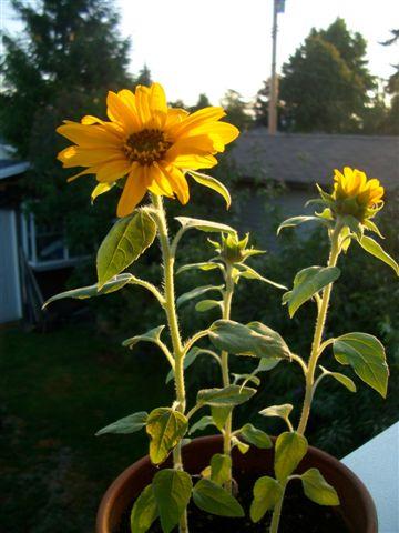 Sunflowers in the sun_c0157558_8523087.jpg