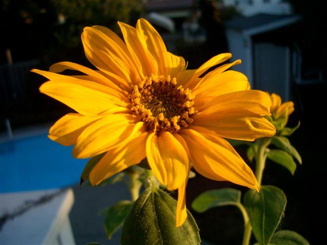 Sunflowers in the sun_c0157558_8524349.jpg