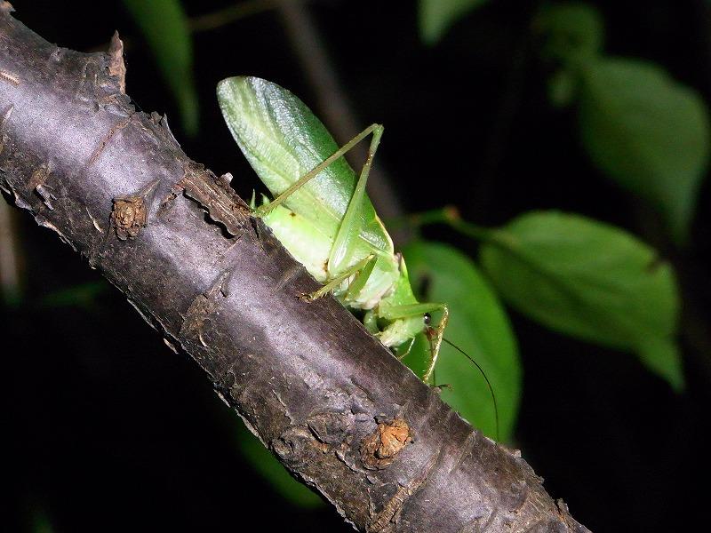 ★秋の夜は「鳴く」虫を探しに・・・(^^。_e0046474_23123535.jpg