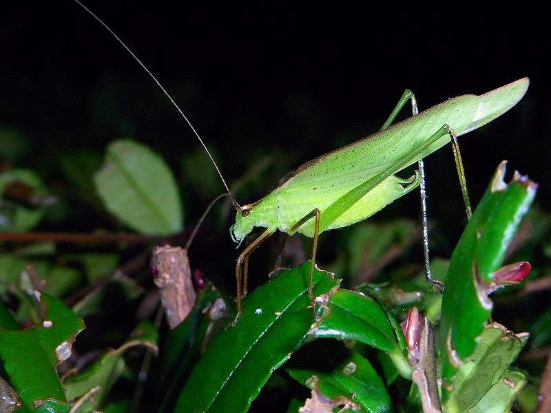 ★秋の夜は「鳴く」虫を探しに・・・(^^。_e0046474_23125031.jpg