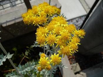 白妙菊の花.JPG