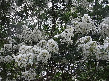白いサルスベリ♪_b0105897_1535211.jpg
