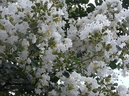 白いサルスベリ♪_b0105897_1554830.jpg