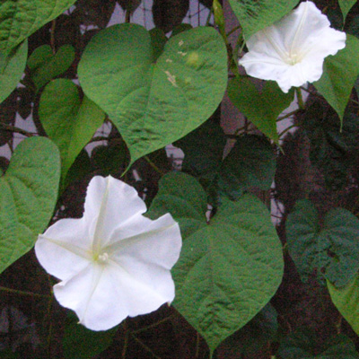 ユウガオ花