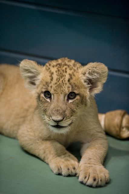 Lion baby_f0144394_20295496.jpg