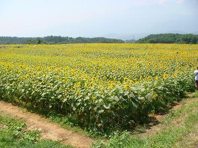 ひまわり畑_a0126379_17421461.jpg