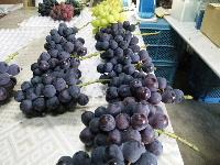 葡萄の収穫が最盛期。_f0018099_2033974.jpg