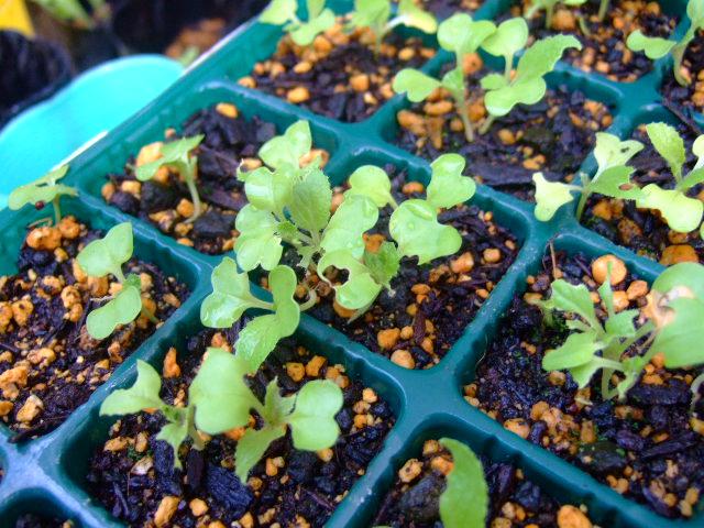 秋野菜の苗が育ちません.....何故?_b0137932_10521397.jpg