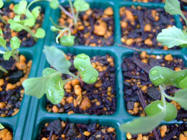秋野菜の苗が育ちません.....何故?_b0137932_10523232.jpg