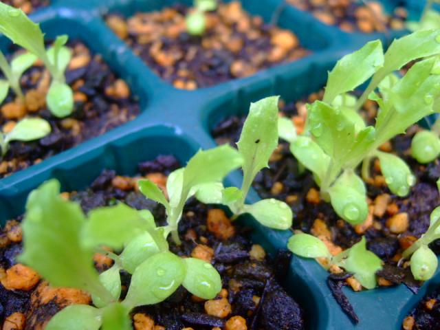 秋野菜の苗が育ちません.....何故?_b0137932_10524982.jpg