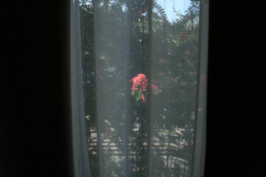 ガラス越しに見る百日紅      ~週末の大安吉日の朝~_a0107574_7235646.jpg