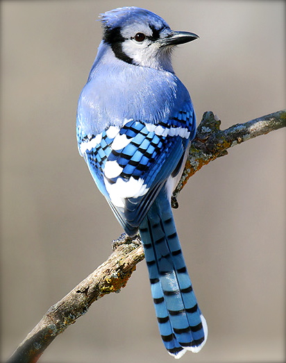 美しい鳥アオカケス
