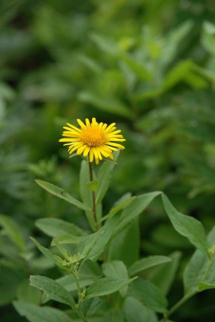 八戸・葦毛崎(あしげざき)の花15 カセンソウ_c0027027_23511865.jpg