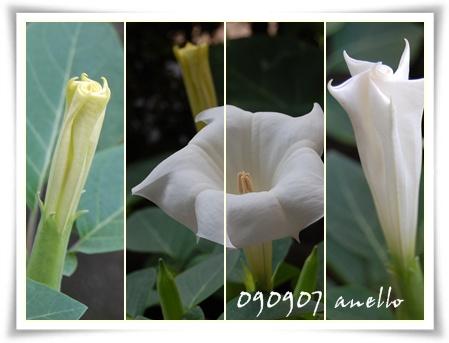曼荼羅華の花