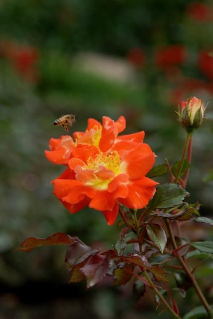 真夏のバラ1 八戸植物公園_c0027027_0101035.jpg