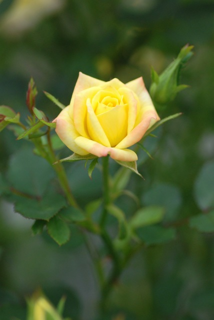 真夏のバラ1 八戸植物公園_c0027027_0103492.jpg