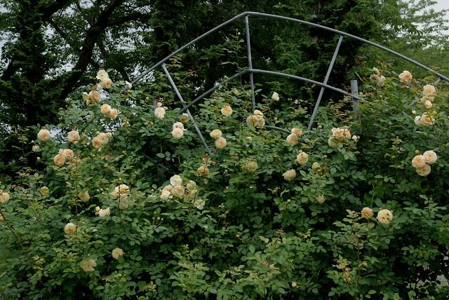 真夏のバラ1 八戸植物公園_c0027027_0105465.jpg