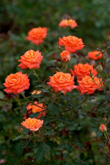 真夏のバラ3  八戸植物公園_c0027027_046015.jpg