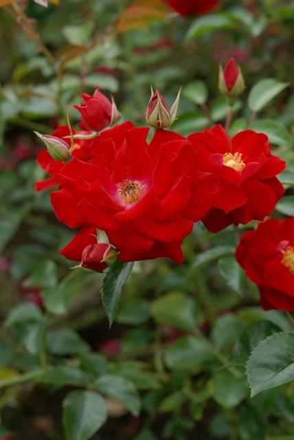 真夏のバラ3  八戸植物公園_c0027027_0481067.jpg