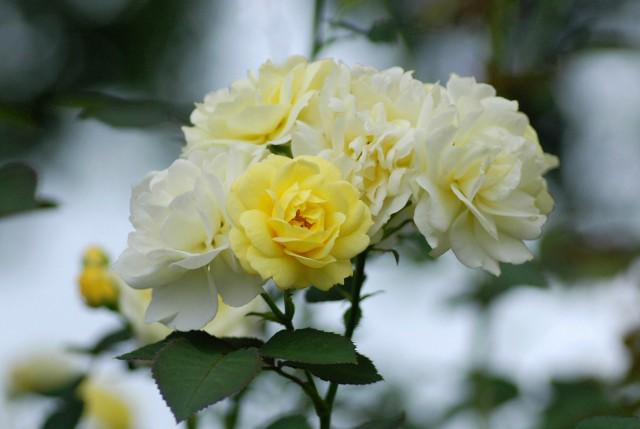 真夏のバラ3  八戸植物公園_c0027027_049888.jpg