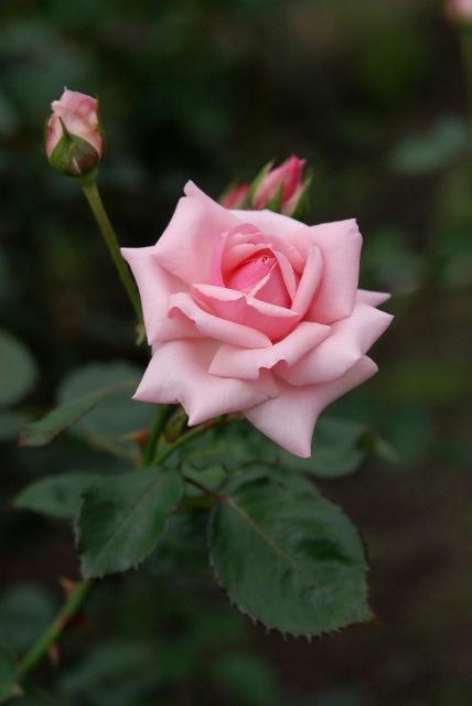 真夏のバラ1 八戸植物公園_c0027027_093018.jpg