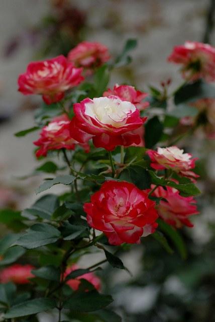 真夏のバラ2  八戸植物公園_c0027027_2336152.jpg