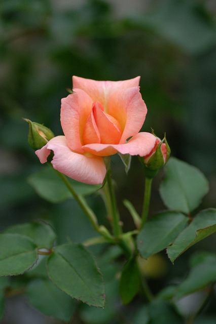 真夏のバラ2  八戸植物公園_c0027027_23364879.jpg
